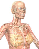 Female Muscular Anatomy Semi Transparent Close Up View — Stock Photo