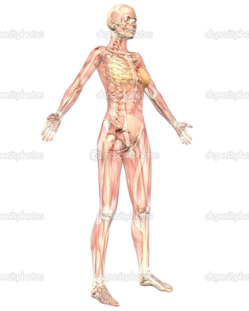 A illustration angled front view of the female muscular anatomy, semi transparent showing the skeletal anatomy. Very educational.  Stock Photo #6845644